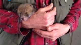 Lost fox cub rescued near ellon - hope webb reports