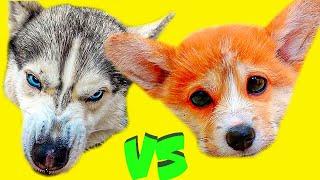 МСТИМ ЩЕНКУ КОРГИ КОРЖИКУ ЗА ЕГО НАГЛОСТЬ!! (Хаски Бандит) Говорящая собака