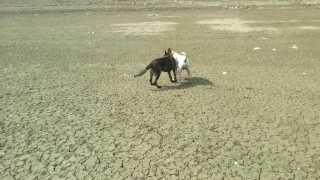 American Bulldog Vs German Shepherd