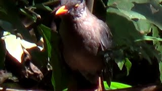 Indian Blackbird - 2