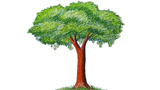 How to draw a Mango tree step by step