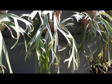 Platycerium (PAKU TANDUK RUSA) || PLANTS BIODIVERSITY