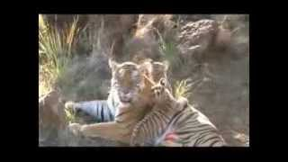 Tigress Ussuri and her three cubs at Tiger Canyons, South Africa