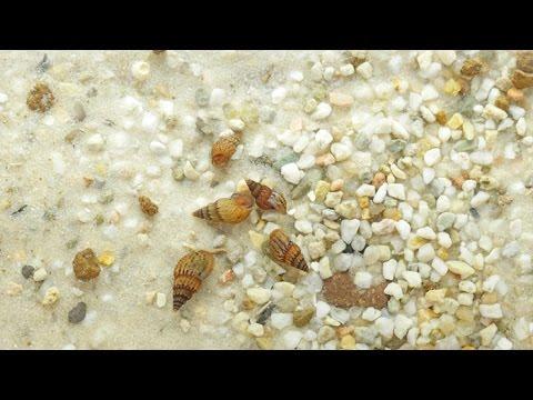 Turmdeckelschnecken / Trumpet Snails