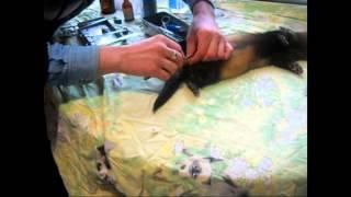 Кастрация хорька в Харькове в домашних условиях, видео (castration ferret)