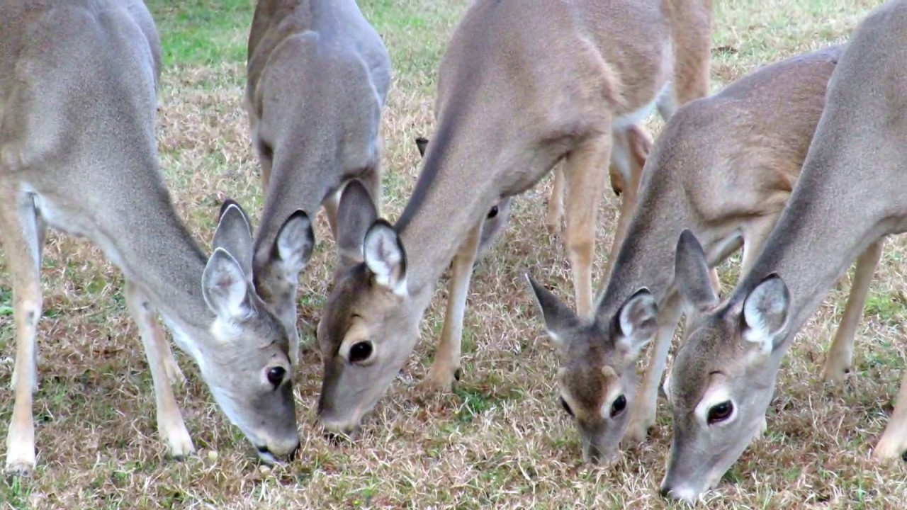 Feeding deer in our backyard - YouTube