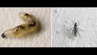 видео МОШКИ в комнатных цветах. Сциариды, грибные комарики. Как избавиться от мошек