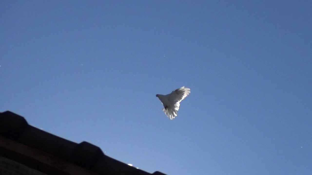 Тренировка голубей.Pigeon.