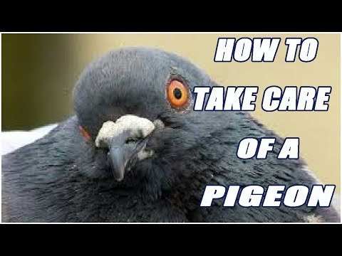How To Take Care Of A Pigeon