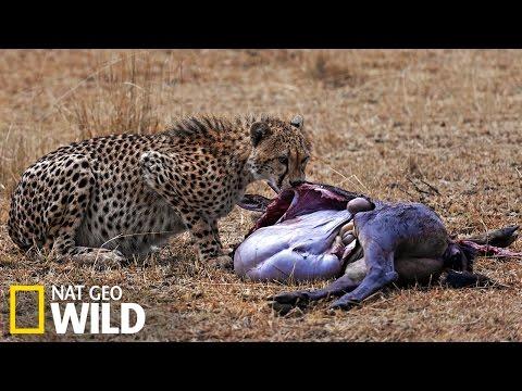 Le guépard attaque un gnou