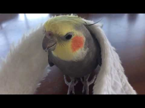 Cockatiel Misses His Partner
