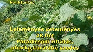 Kert&Barkács -Leleményes veteményes - 28.hét - Paradicsom gyérítés,uborka szüret,meg ilyenek :)