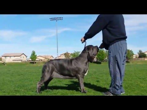 Giada Neapolitan Mastiff Show Training 8 Months