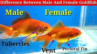 Difference Between Male And Female Goldfish
