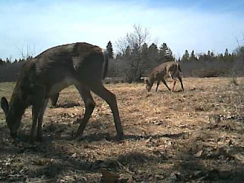 Deer and Turkey feeding