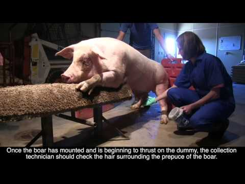 Biosecurity and Hygiene in Boar Collection