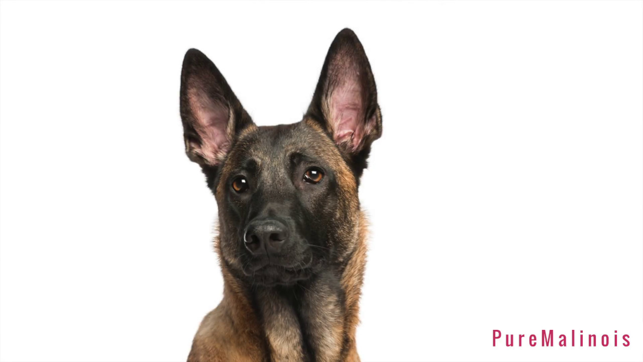 Why Do Some Belgian Malinois Puppies Have Floppy Ears