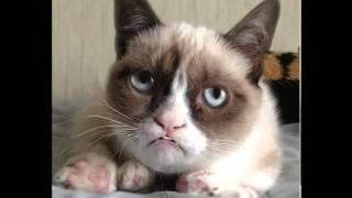 Знаменитый поющий Grumpy Cat (Соус Тардар)