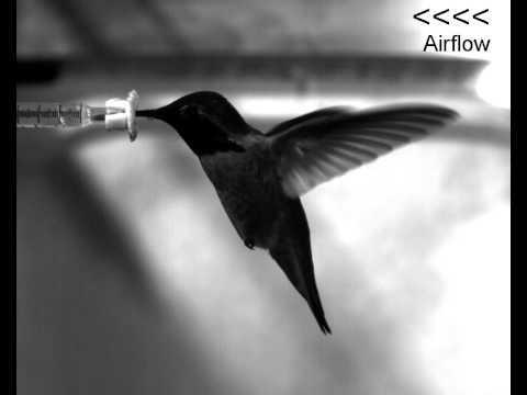 Watch This: Hummingbirds Fly Forwards and Backwards With