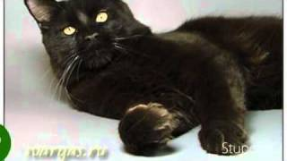 Черные коты мейн-куны питомника Svargas / Black  males cattery Svargas