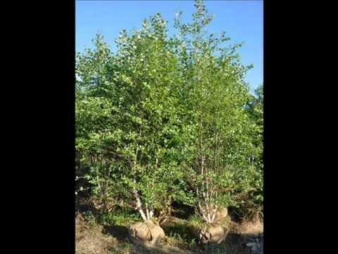 Exfoliating Betula Nigra Reading Pa Craigslist Add   215 651 8329 Hot Sexy trees!!!