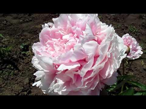 Сара Бернар пион  розовый
