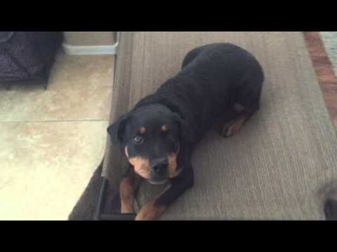 6-month-old-rottweiler-puppy-board-and-train-before-and-after