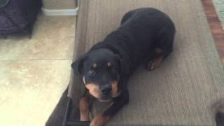 6 Month Old Rottweiler Puppy Board And Train Before And After