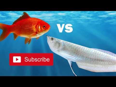ikan arwana raksasa vs ikan mas