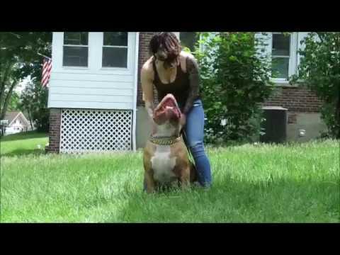 worlds largest pitbull
