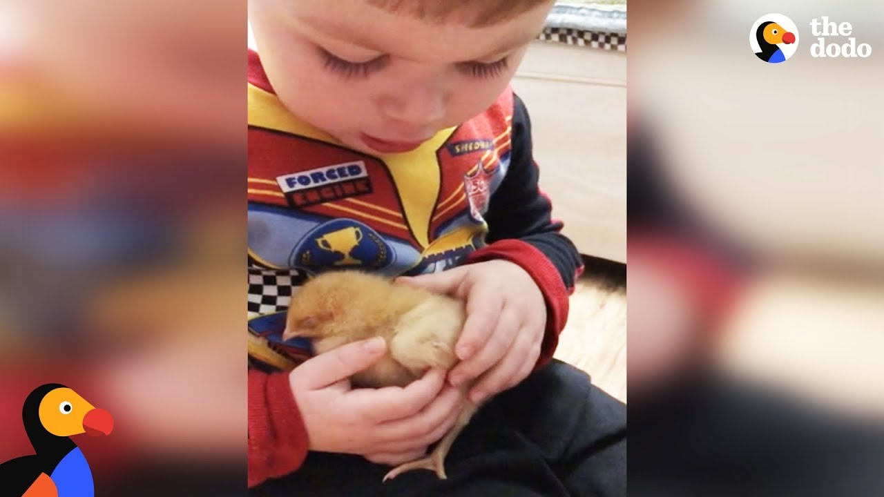 Little Boy Sings Baby Chick To Sleep | The Dodo