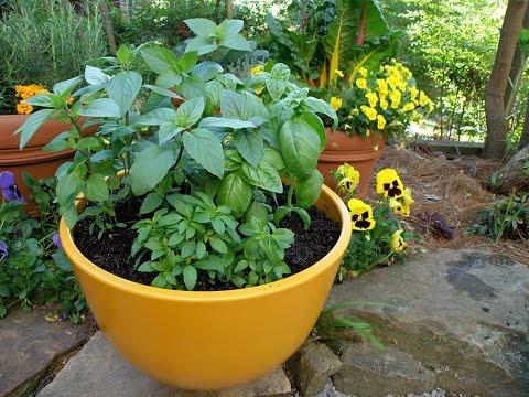 Growing Basil - Bonnie Plants