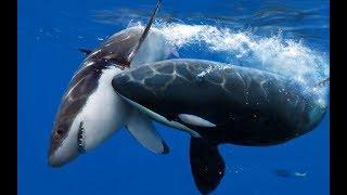 Кaсатка самый опасный хищник океана!!!