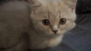 Котёнок породистый, шотландский