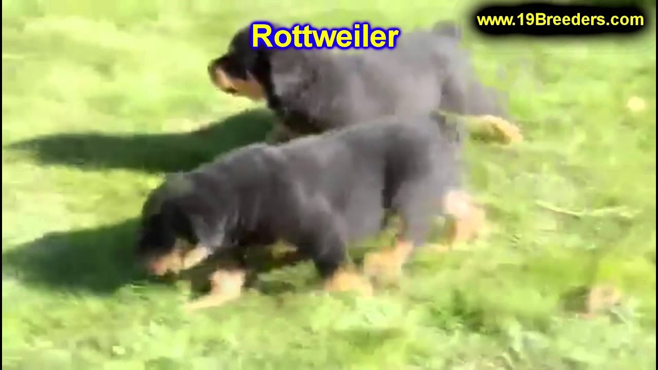 Rottweiler Puppies For Sale In Columbia Maryland Md Perry
