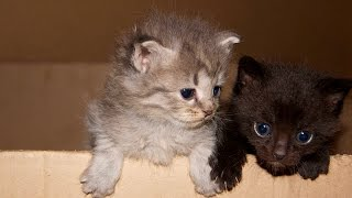 Котята в хорошие руки Чёрный и Серый