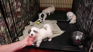 Coton Puppies For Sale - Isha 11/13/19