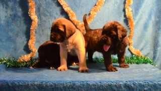 English mastiff puppies for sale , Питомник ,,Grand   life  energy,,