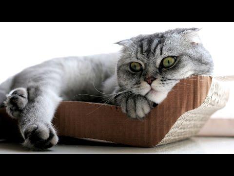 Шотландская Вислоухая, Уход и Содержание, Породы кошек