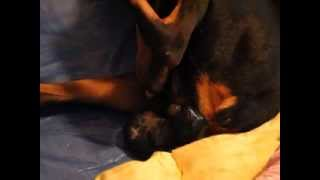 Funny Scared Doberman Has Puppies!
