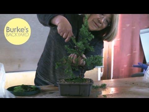 Burke's Backyard, How to create a Bonsai tree