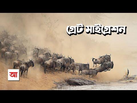 সেরেঙ্গেটির গ্রেট মাইগ্রেশন   আদ্যোপান্ত   The Great Migration In Serengeti   Adyopanto
