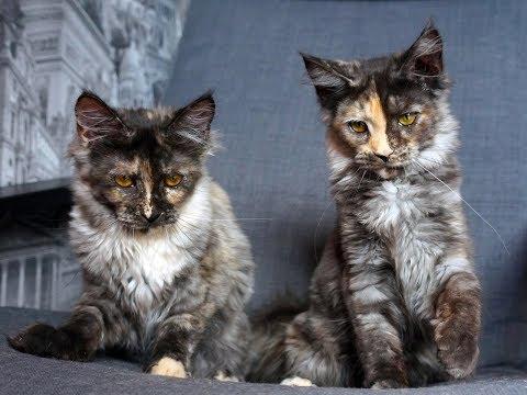 фото породи кошки