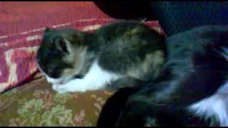 Кошка пердит