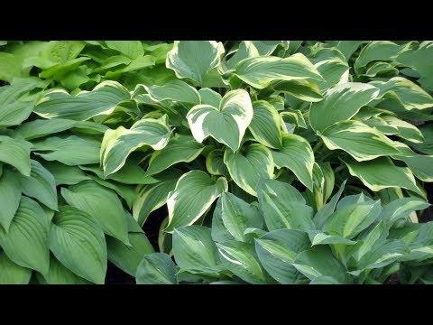 plantas-de-sombra:-hostas-o-hermosas---decogarden---jardinatis