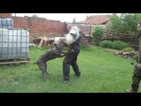Cane corso protect work.