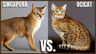 Singapura Cat VS. Ocicat Cat