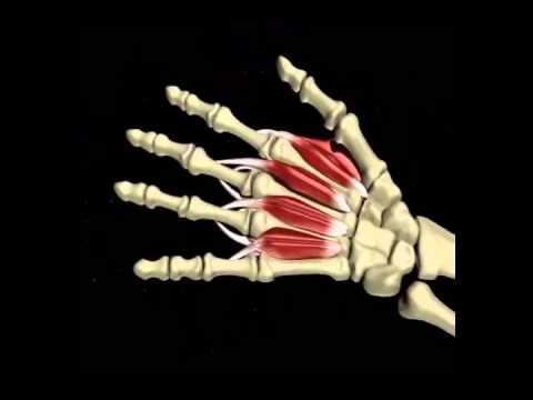 Anatomía de la mano - YouTube