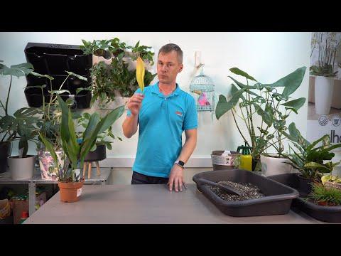 Аспидистра высокая, теневыносливое растение, хит прошлого столетия.