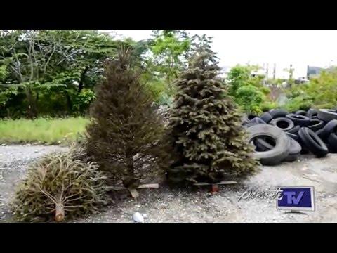 reciclatn de pinos en tabasco reciclaje de pinos naturales de navidad youtube